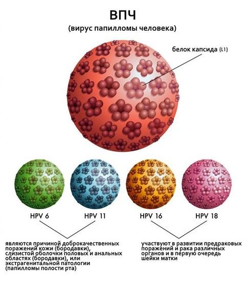 6 и 11 штаммы вируса папилломы человека