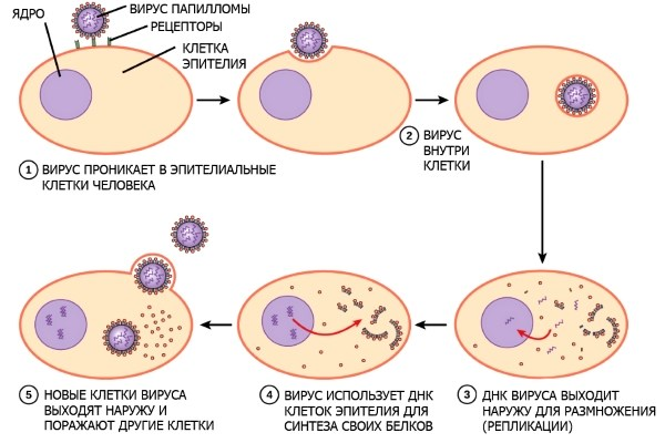 фото: размножение вируса