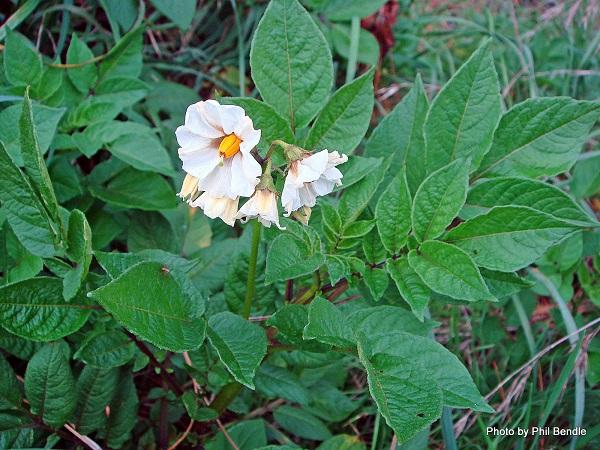 фото: Solanum tuberosum
